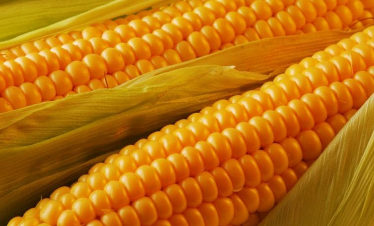 Гибридные семена кукурузы: устойчивость, урожайность