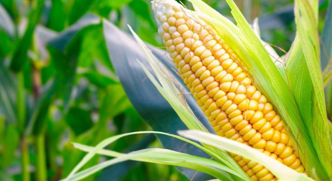 Большой урожай кукурузы на поле