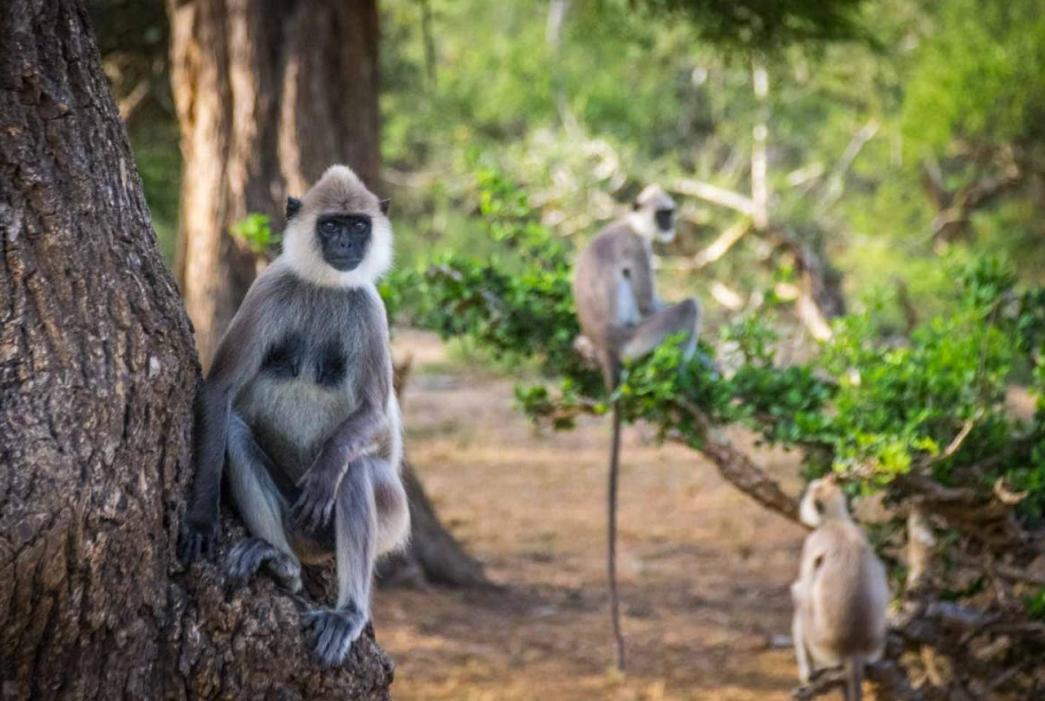 Экзотические обитатели острова Шри-Ланка (местные обезьяны)