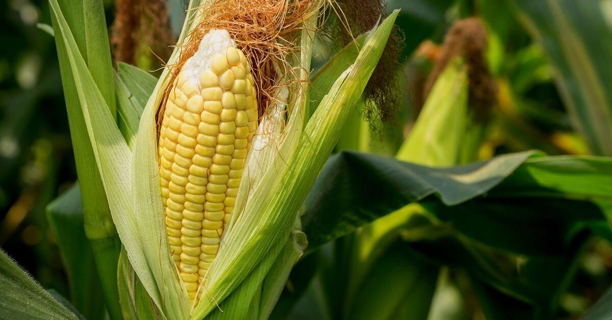 Семена кукурузы и их выбор под различные условия